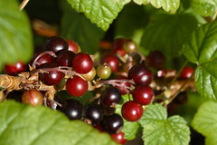 blackberry, plant, fruit, currant,
