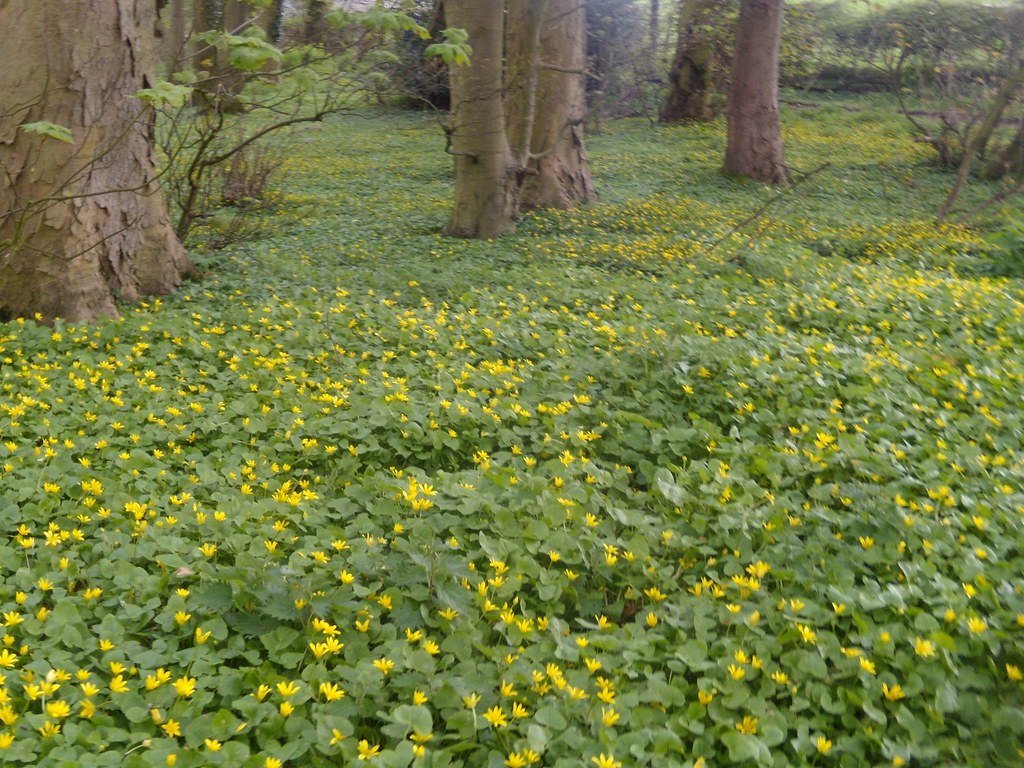 Carpet of celandine Little Kimble to Saunderton