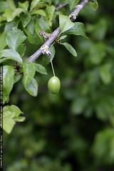 baby plum