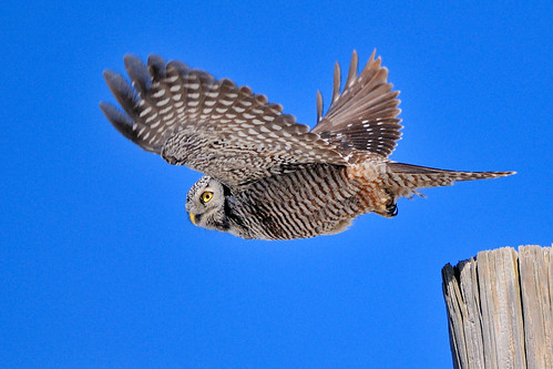 flickr explore - northern hawk owl