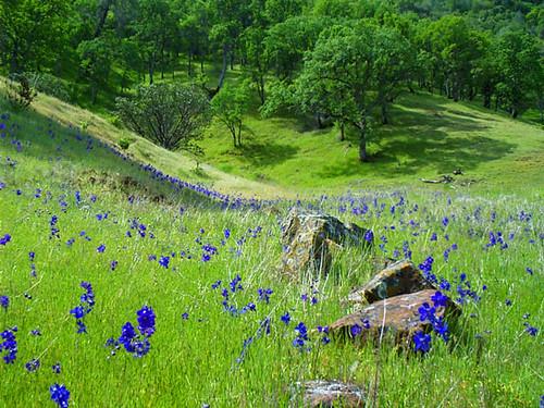 Wildflowers in Wilbur Hot Springs Nature Preserve