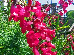 digitalis(0.0), shrub(1.0), flower(1.0), garden(1.0), plant(1.0), gladiolus(1.0), flora(1.0), snapdragon(1.0),