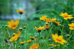 field(0.0), nectar(0.0), chamaemelum nobile(0.0), flatweed(0.0), macro photography(0.0), calendula(1.0), prairie(1.0), flower(1.0), yellow(1.0), plant(1.0), herb(1.0), wildflower(1.0), flora(1.0), sulfur cosmos(1.0), meadow(1.0), grassland(1.0),