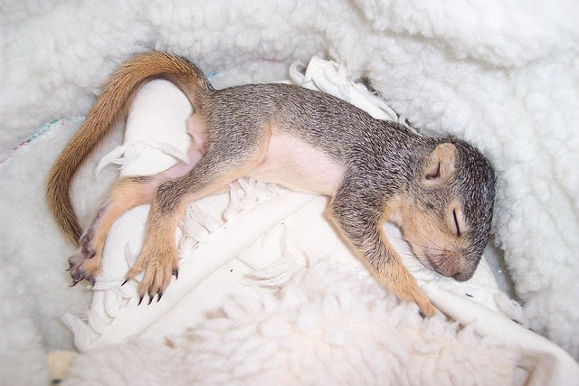 Baby tree squirrel with swollen head, Mary Cummins ...