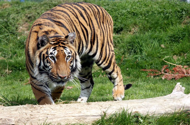 Tiger hybrid - photo#12