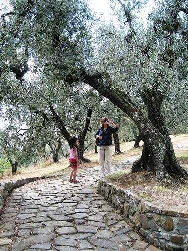 Olive trees, da Vinci home, Anchiano
