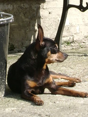 dog breed, animal, dog, german pinscher, manchester terrier, lancashire heeler, russkiy toy, vulnerable native breeds, miniature pinscher, pinscher, toy manchester terrier, english toy terrier, carnivoran, terrier,
