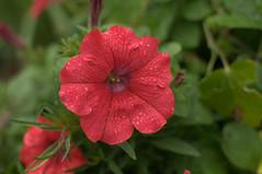 four o'clock flower(0.0), annual plant(1.0), flower(1.0), plant(1.0), macro photography(1.0), wildflower(1.0), flora(1.0), four o'clocks(1.0), petal(1.0),