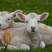 Trip to England-Blenheim Palace lambs by ksvrbrg