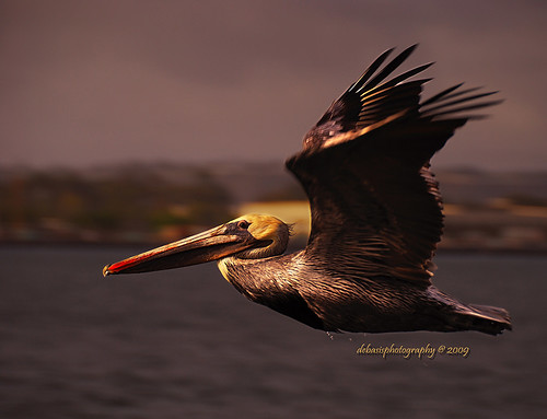 ocean brown motion color bird nature photography flying photo wings nikon pacific jan dusk january pelican nikkor 18200mm debasis
