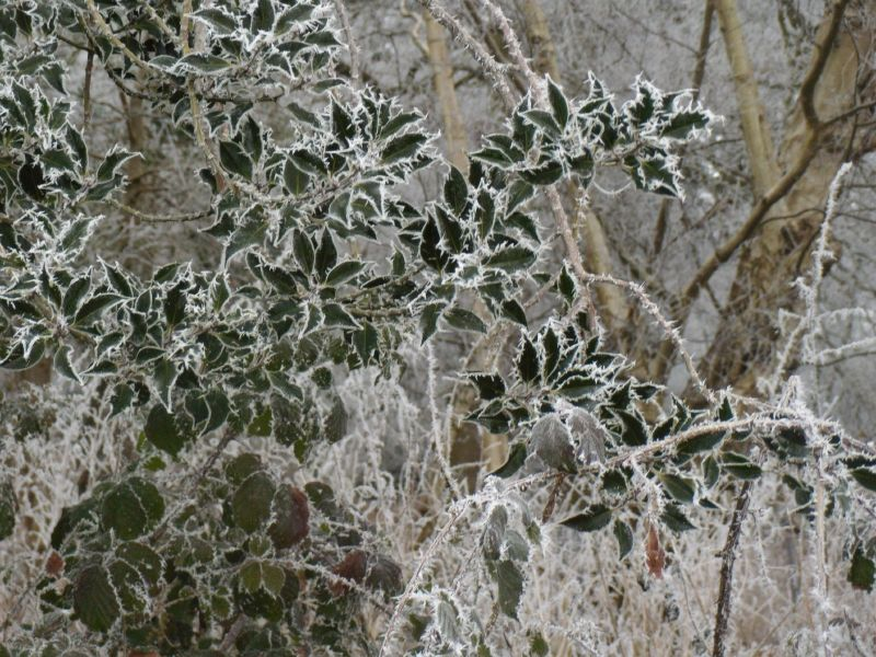 Frosty holly Wanborough to Godalming