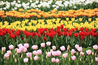 Tulipa / チューリップ / 鬱金香(うこんこう)
