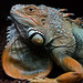 Green Iguana - Photo (c) Erik Underbjerg, some rights reserved (CC BY-NC-SA)