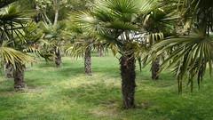 date palm(0.0), fruit(0.0), food(0.0), arecales(1.0), tropics(1.0), tree(1.0), plant(1.0), produce(1.0), elaeis(1.0), plantation(1.0),