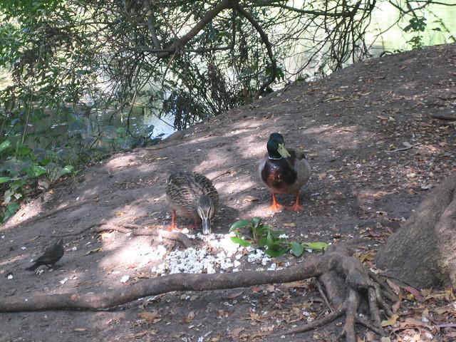 Ducks Eating Popcorn | Flickr - Photo Sharing! Popcorn