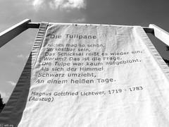 Tulpen/ Tulip