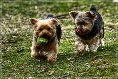 dog breed, animal, dog, schnoodle, pet, australian silky terrier, norfolk terrier, glen of imaal terrier, mammal, vulnerable native breeds, norwich terrier, border terrier, welsh terrier, cairn terrier, australian terrier, terrier,
