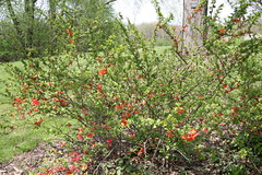 evergreen, shrub, pistacia lentiscus, flower, tree, plant, flora,
