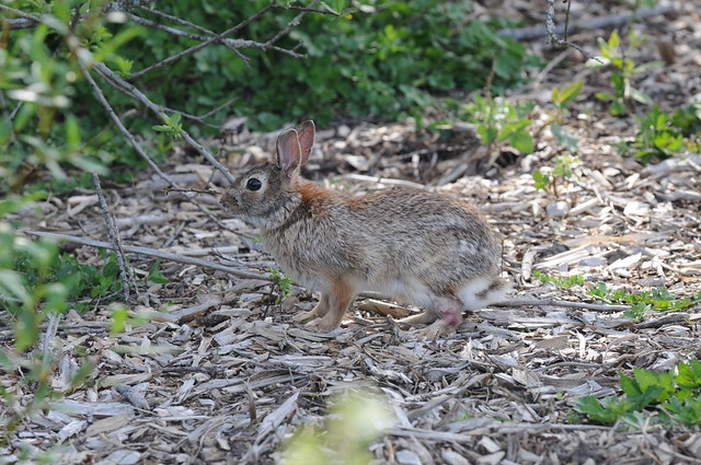 Rabbit running away on bad leg closeup | Flickr - Photo ...
