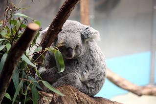 Image of コアラ near Hino. japan zoo tokyo 動物園 多摩動物公園 コアラ