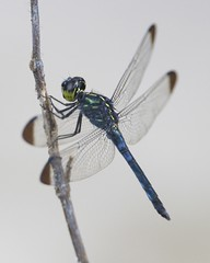 Dragonflies and Damselflies - Photo (c) Lip Kee Yap, some rights reserved (CC BY-SA)