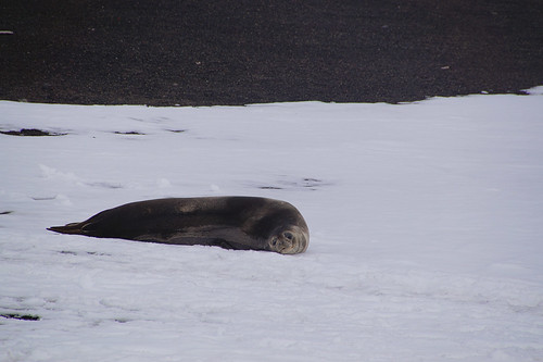 361a Deception Island - Whalers Bay Weddell zeehond