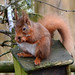 Red Squirrel - Balgavies Loch