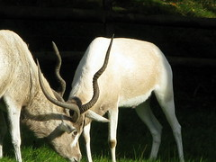 animal, antelope, zoo, mammal, horn, grazing, fauna, oryx, wildlife,