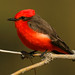 Vermilion Flycatcher - Photo (c) Wayne Dumbleton, some rights reserved (CC BY-NC-SA)