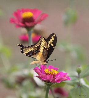 Série com a Toas Grande (Heraclides thoas brasiliensis ou Papilio thoas brasiliensis) - 10-02-2009 - IMG_4729