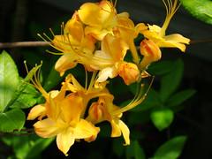 honeysuckle, flower, yellow, plant, wildflower, flora,