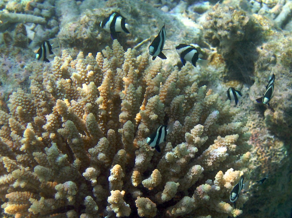 Zebra Fish and their coral home