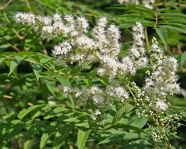 Sorbaria arborea var. glabrata -- Flower 2