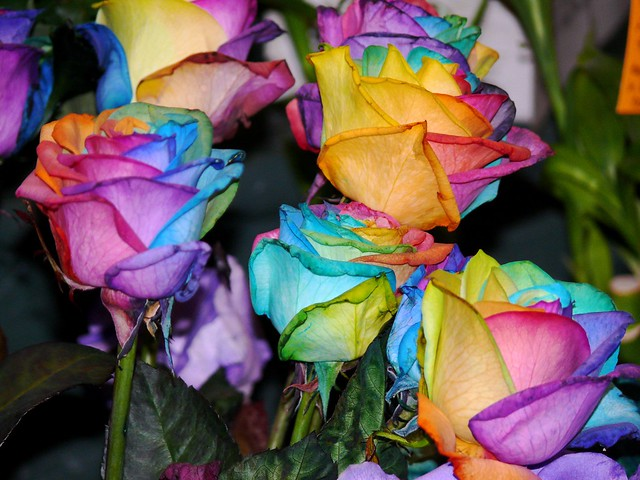 Multi color roses flickr photo sharing for Dual color roses