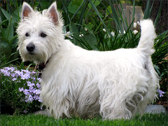 dog breed, animal, dog, pet, australian silky terrier, glen of imaal terrier, vulnerable native breeds, biewer terrier, norwich terrier, cairn terrier, australian terrier, west highland white terrier, carnivoran, scottish terrier, terrier,