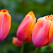 Triumvirate of tulips