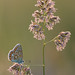 Polyommatus thersites by stephan_amm