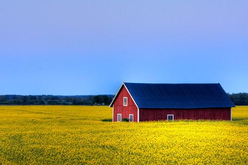 blue red field yellow barn sweden seed rape oil sverige agriculture raps hdr linköping rapeseed östergötland sigma70300mmf456apodgmacro johanklovsjö