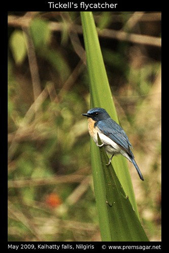 Tickells blue flycatcher 4