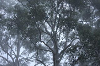 Gum Trees in the Sydney Winter Fog, New South Wales, Australia