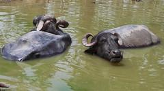 elephant(0.0), hippopotamus(0.0), safari(0.0), cattle-like mammal(1.0), animal(1.0), water buffalo(1.0), working animal(1.0), mammal(1.0), fauna(1.0), wildlife(1.0),