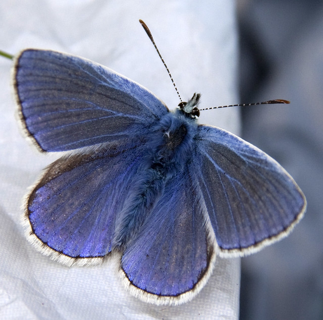 Common Blue butterfly 2