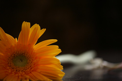 Gerbera in the dark