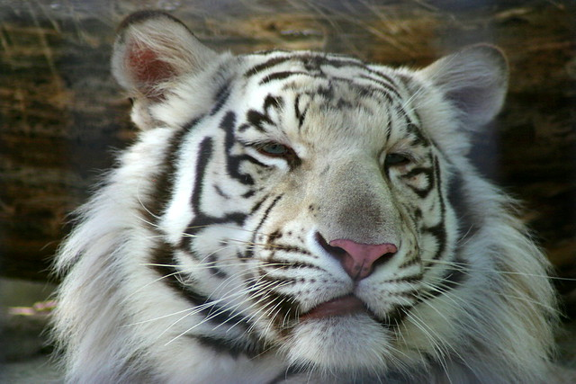 White Tiger | Beautiful white Bengal tiger | By ...