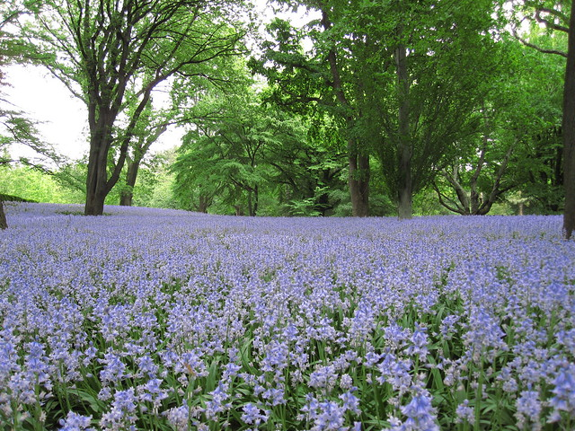 A sea of Spanish bluebells creates quite a sight at BBG today. Photo by Rebecca Bullene.
