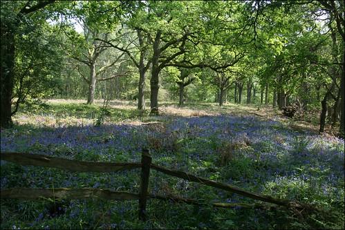 Bluebells on Hambledon Common