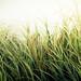 Beach Grass Texture