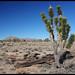 A lone Joshua Tree by rickz