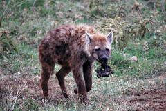 grizzly bear(0.0), brown bear(0.0), bear(0.0), animal(1.0), mammal(1.0), hyena(1.0), fauna(1.0), safari(1.0), wildlife(1.0),