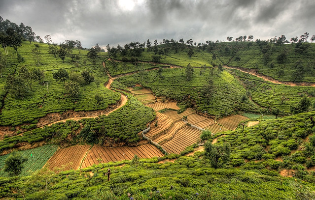 Fields of green tea, Sri Lanka